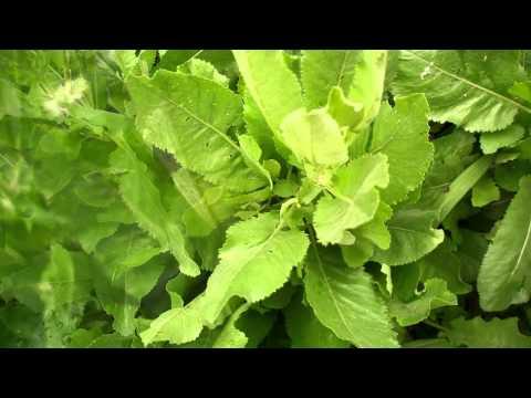 Канупер. Пижма бальзамическая.  Лекарственные травы