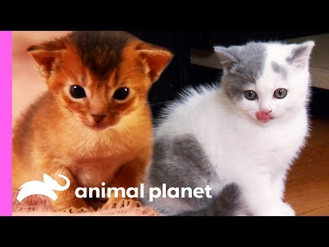 Top 3 Cutest Kitten Moments | Too Cute!