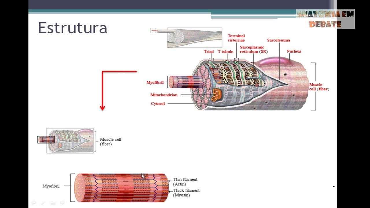 Anatomia Em Debate Sistema Muscular Parte 2