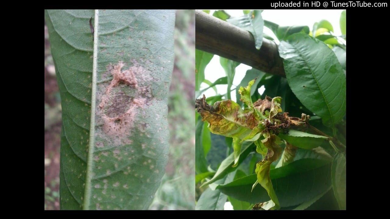 20170626-水蜜桃的葉子是得什麼病?(附圖)高磷鉀跟高鈣鎂可以一起噴嗎?一年使用溶磷菌BM菌的次數 - YouTube