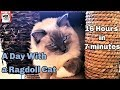 Typical Ragdoll Cat Behavior の動画、YouTube動画。