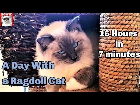A Day With My Ragdoll Cat. 16 hours in 7 minutes.