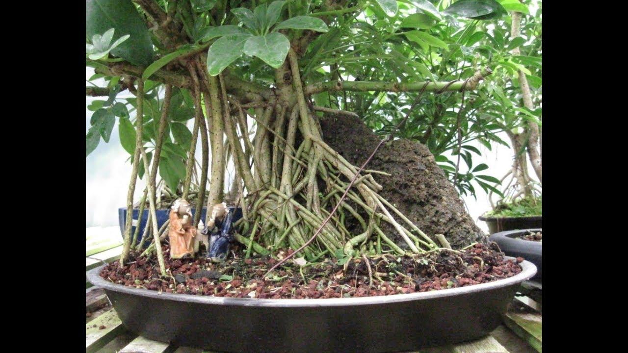 office bonsai. The Hawaiian Umbrella - Perfect Bonsai For Home Or Office A