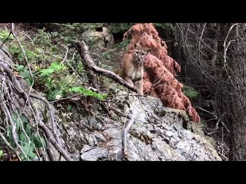 Mountain Lion (cougar, puma) – High Sierra Trail, CA