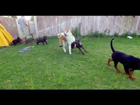 Dog Socialization - Akita Inu, German Shepherds and Rottweiler