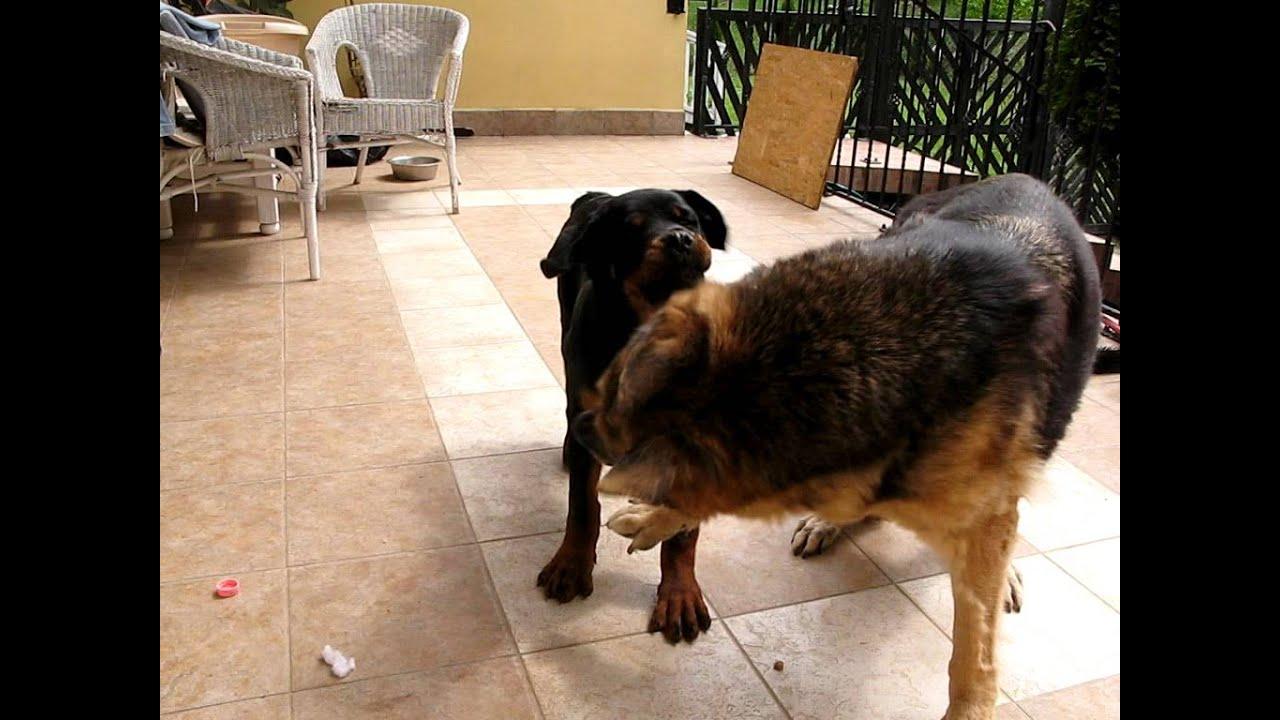 Dogfight: Rottweiler vs. German Shepherd - YouTube