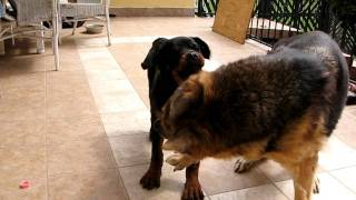 Dogfight: Rottweiler Vs. German Shepherd