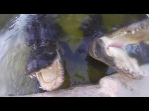 Alligator bites video camera attached to man's head