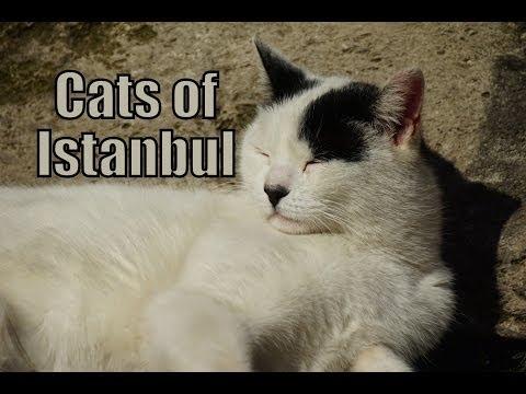 Cats of Istanbul, Turkey (İstanbul, Türkiye Kediler)