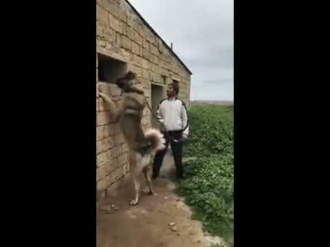Kangal Dog powerful Turkish  Shepherd Dog