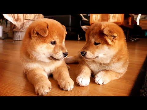 Our eldest potats are 2 years old today 🎉🎂❤️ - Shiba Inu puppies