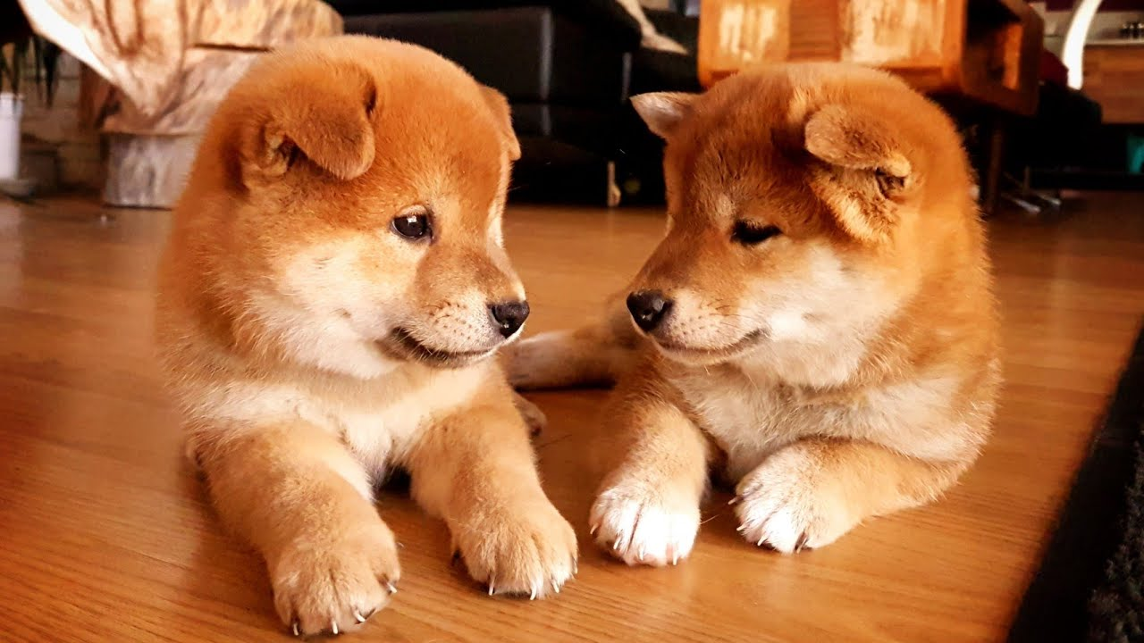 Our eldest potats are 2 years old today 🎉🎂❤️ - Shiba Inu puppies - YouTube