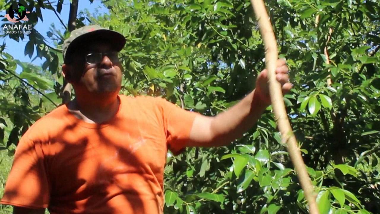 Venta de plantas de canela en mexico