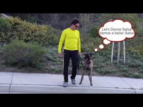 Belgian Malinois Dancing Salsa Dog Evolution David Utter
