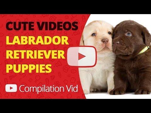 Cutest Labrador Puppy Compilation Cute Funny Adorable