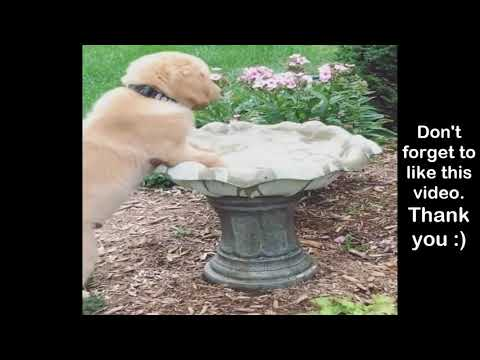 Funniest & Cutest Golden Retriever Puppies #19 - Funny Puppy Videos 2019