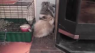 Приучение крольчат породы немецкая ангора к жизни в квартире. Фильм 2