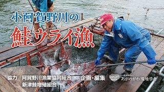小阿賀野川の鮭ウライ漁