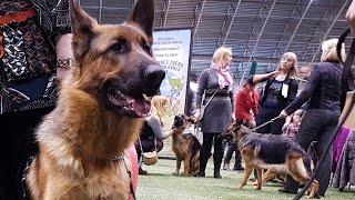 НЕМЕЦКИЕ ОВЧАРКИ. Выставка собак LKBA CACIB «Планета собак 2016»