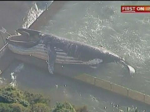 Whale video: Dead humpback whale found in Sydney swimming pool