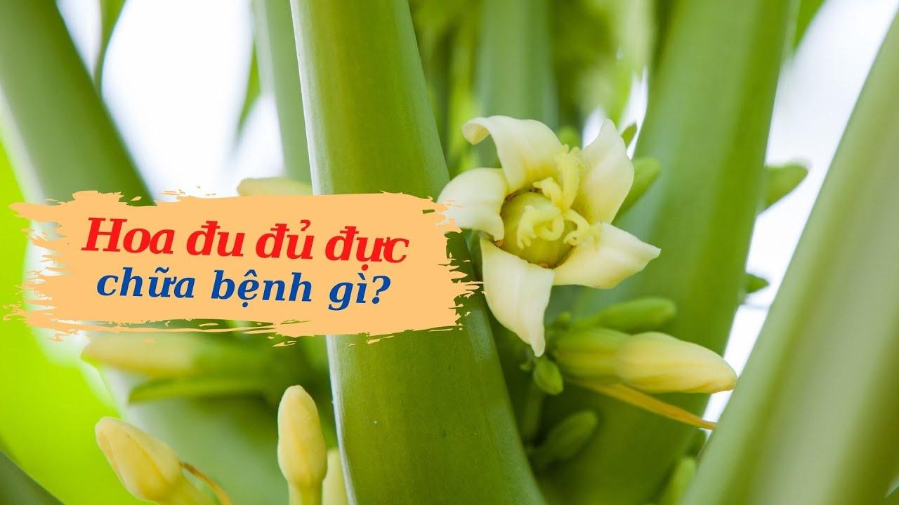 Hoa đu đủ đực chữa bệnh gì ?