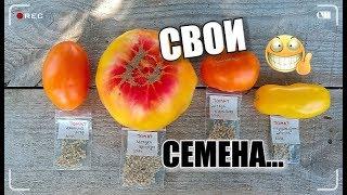 ТОМАТ—получение семян/ Кто о чём..., а я о помидорах/ #томаты #семена #огород