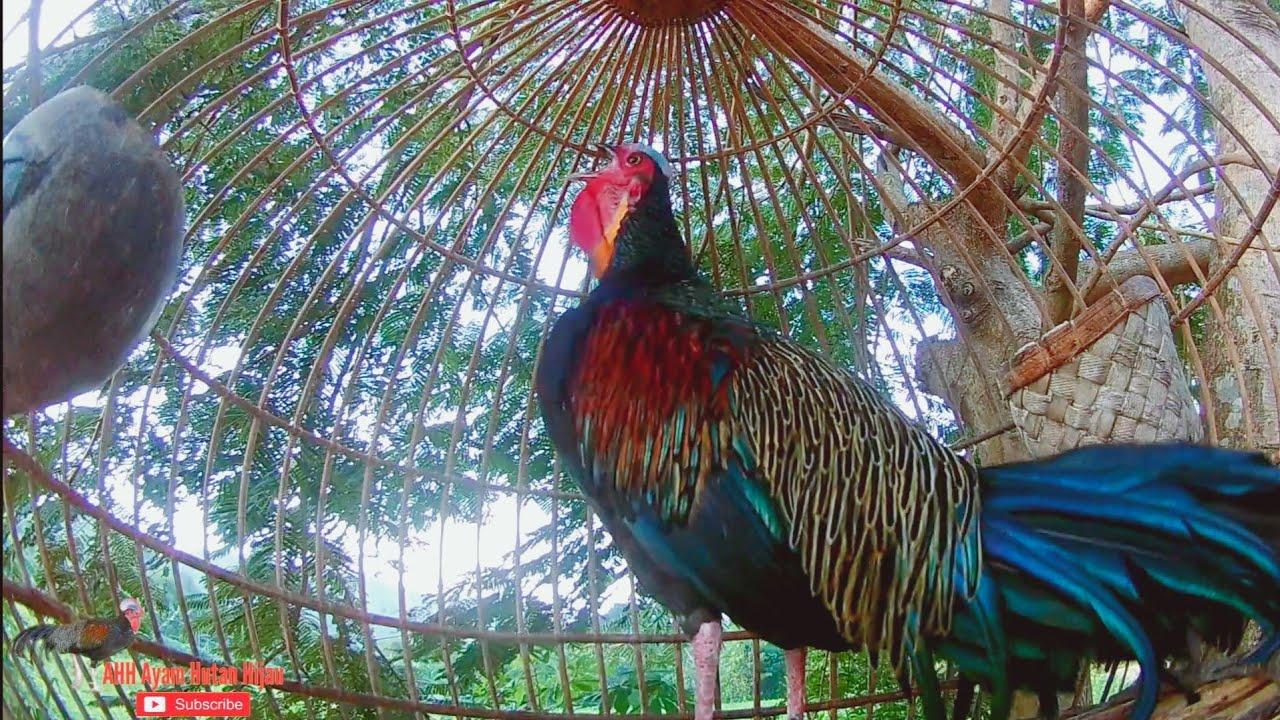 Ayam hutan hijau ini cocok untuk di jadikan Pikatan super gacor