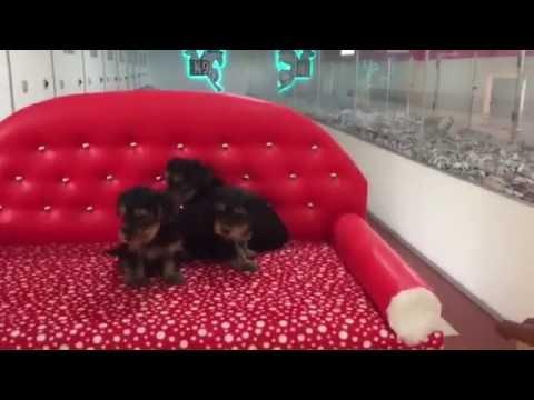 satılık-yorkshire-terrier-yavrularımız-İrt:-05326824205