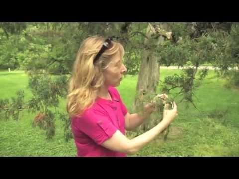 Cedar-Apple Rust (Juniper Rusts)