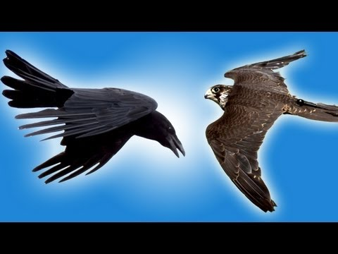 Falcon vs Raven in Slow Motion - Slo Mo #25 - Earth Unplugged