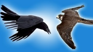 Repeat youtube video Falcon vs Raven in Slow Motion - Slo Mo #25 - Earth Unplugged