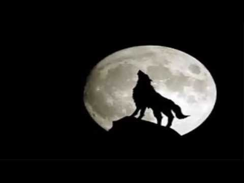 Sad Wolf Howl at The Moon