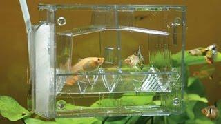 Домашний аквариум В домашних условиях икра рыбы Нерестовик своими руками