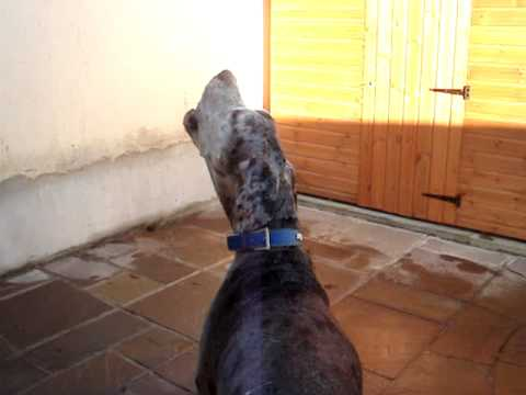 My Great Dane Dave howling!!