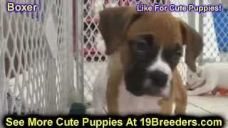 Boxer, Puppies For Sale, In Atlanta, Georgia, Ga, Savannah,sandy Springs, Roswell