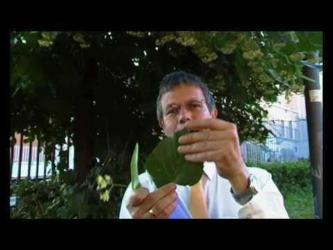ARBORETUM di Antimo Palumbo - 24.000 Bauci, la fioritura del tiglio