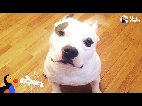 download PIt Bull Dog Shot In The Head Transformed By His New Mom's Love - BRUTUS   The Dodo Pittie Nation