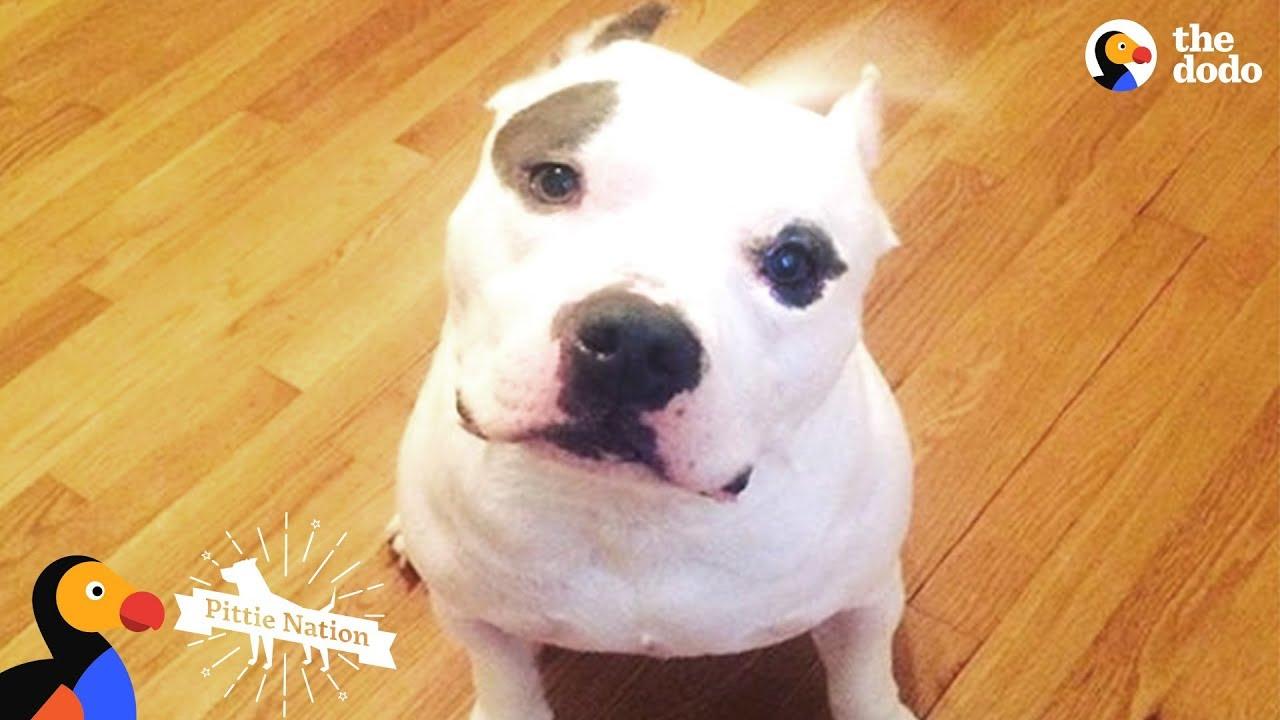 PIt Bull Dog Shot In The Head Transformed By His New Mom's Love - BRUTUS   The Dodo Pittie Nati