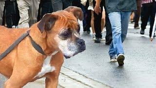Грустная собака бродила по улице, пытаясь привлечь внимание людей, не понимая, что ей делать...