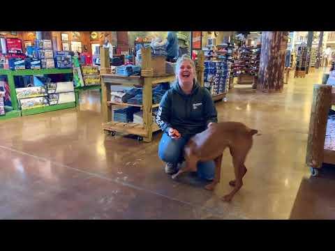 Best Dog Training Toledo, Ohio! 9 Month Old Vizsla, Sam!
