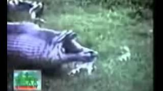 Анаконда против гиппопотама Бои животных Anaconda vs hippo