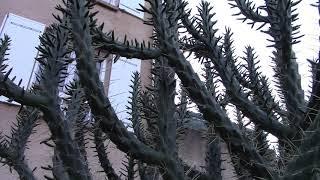 Остров Корсика.  Цилиндропунции гиганты. Кактусы.