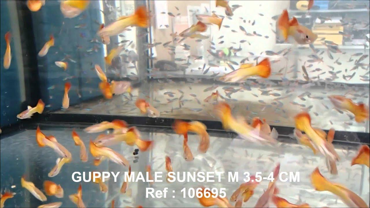 S lection de poissons semaine 21 mai 2014 comptoir du poisson exotique youtube - Comptoir poisson exotique ...