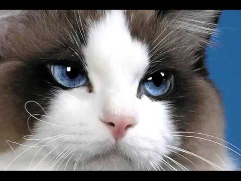Rag Doll Cat | Picture Ideas Of Rag Doll