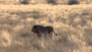 Lion vs Oryx