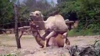 Camels Doin' It