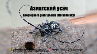 Азиатский усач (Anoplophora glabripennis (Motschulsky))