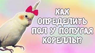 Мальчик или девочка? Определение пола у попугая корелла!😊