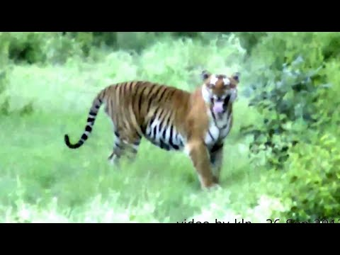 TIGER WALKS STRAIGHT TOWARDS OPEN SAFARI JEEP !!!..BANDIPUR...RARE FOOTAGE