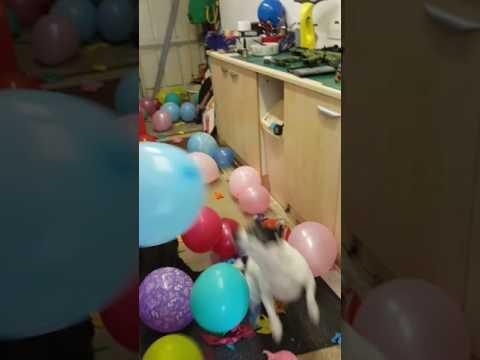 Dangerous jack Russell bursting 200 balloons